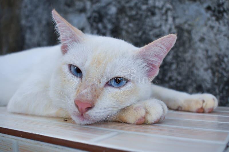 Белый кот с взглядом голубых глазов что-то стоковое фото