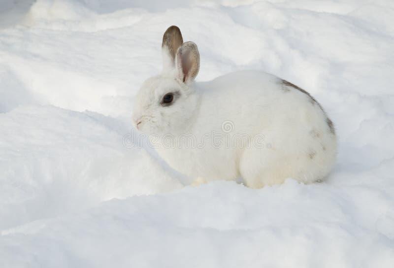 Белый кролик в снеге стоковые фото