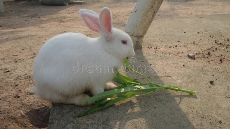 Белый кролик есть овощ стоковые фото
