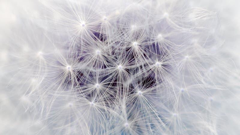 Белый макрос парашютов цветка одуванчика (коэффициент сжатия 16:9) стоковое изображение rf