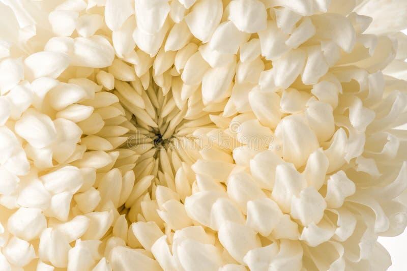Белый макрос хризантемы стоковые фотографии rf