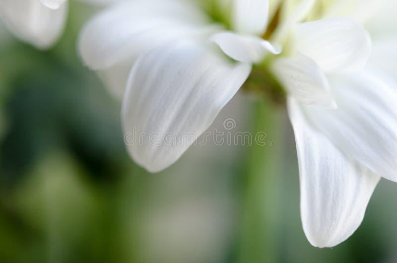 Белый макрос хризантемы стоковые изображения rf