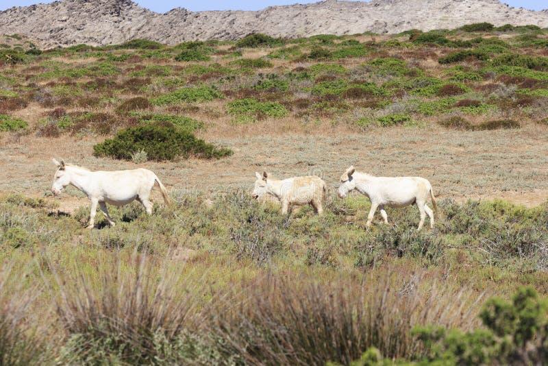 Белый осел, asinara острова резидента только, Сардиния Италия стоковые фото
