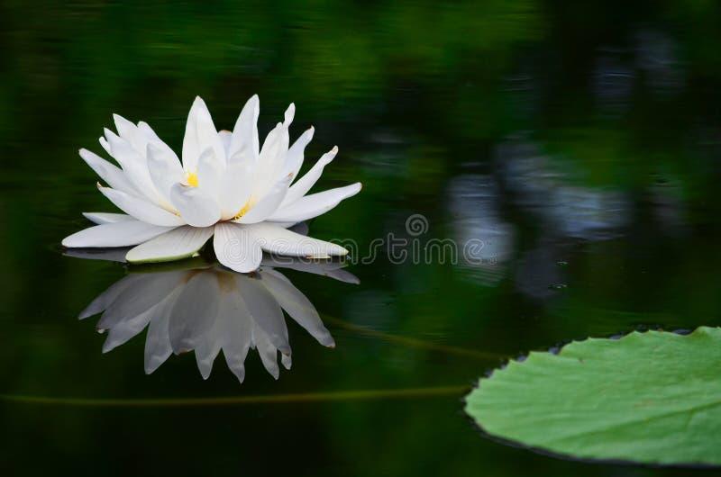 Белый лотос в пруде стоковая фотография