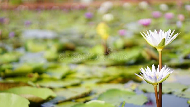 Белый лотос, лилия белой воды в саде стоковая фотография rf