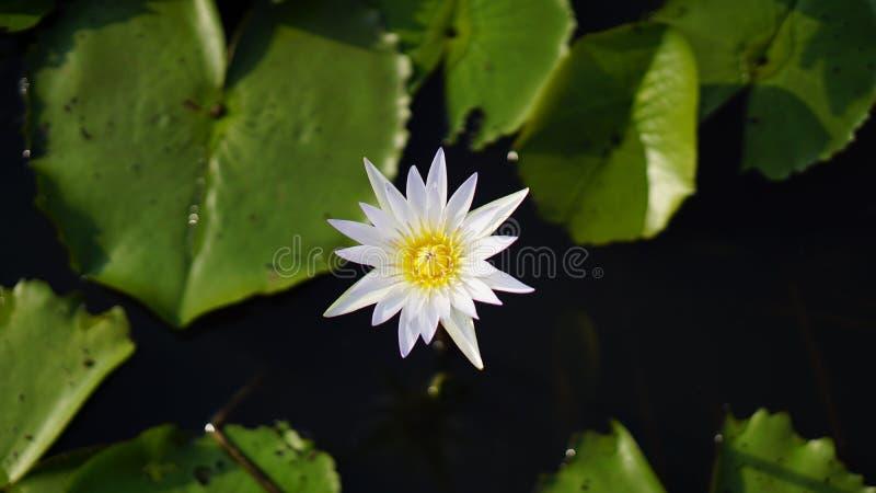 Белый лотос, лилия белой воды в саде стоковое фото rf