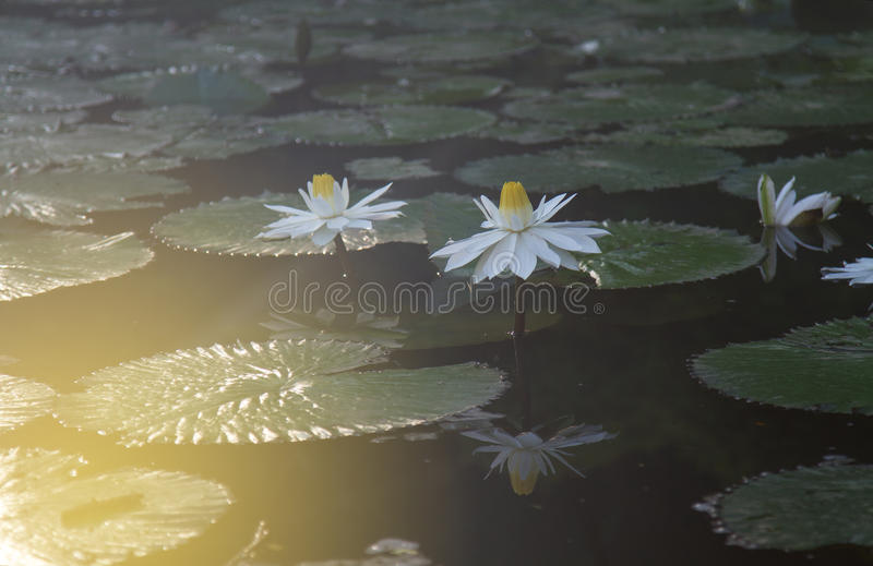 Белый лотос свежий стоковая фотография