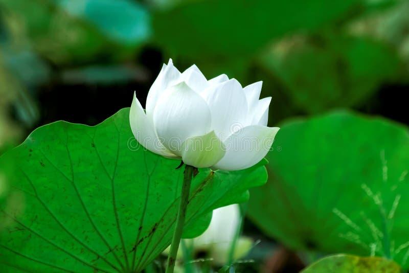 Белый лотос стоковое изображение