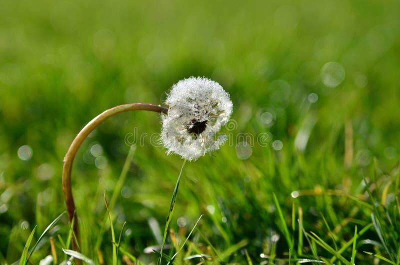 Белый одуванчик с росой в зеленой траве стоковая фотография