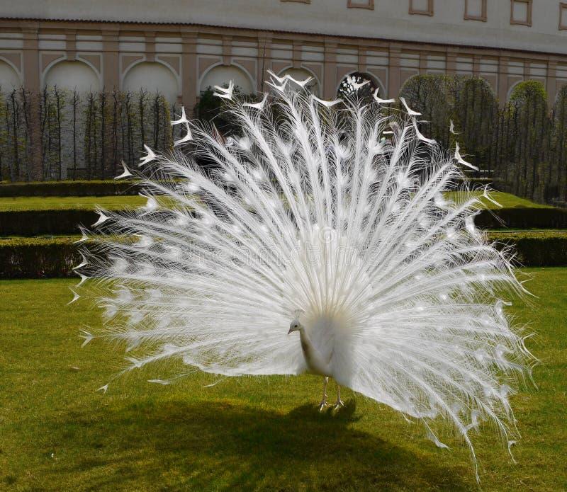 Птица белого мыжского павлина животная роскошная стоковое изображение