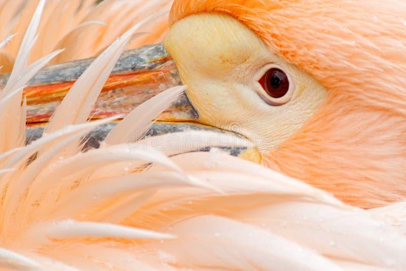 Белый пеликан, erythrorhynchos Pelecanus, с пер над счетом, детализирует портрет оранжевой и розовой птицы, Болгарии стоковая фотография