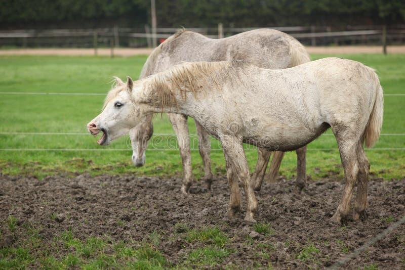 Белый пони в зевке грязи стоковая фотография