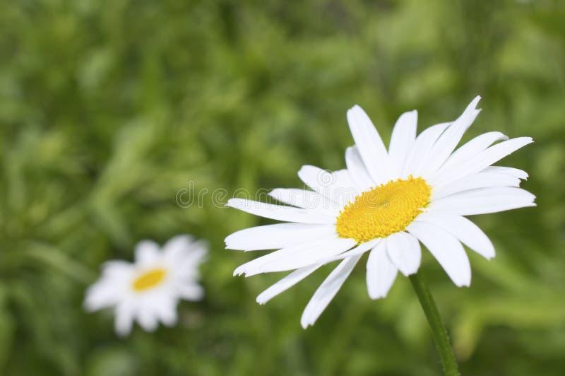 Белый похожий на маргаритк цветок стоцвета стоковые изображения rf