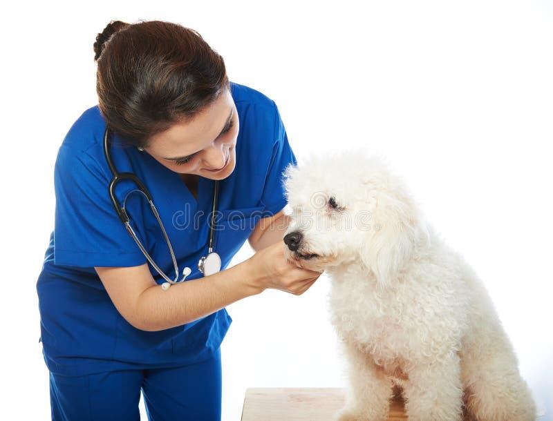 Белый пудель в veterinary стоковая фотография rf