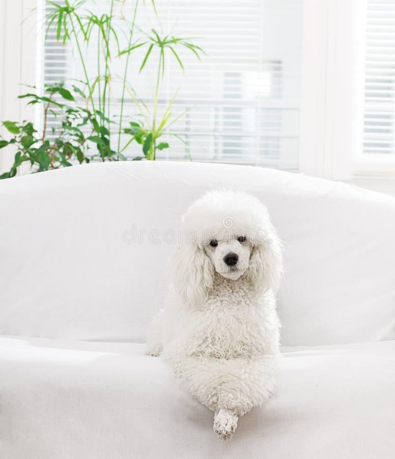Белый пудель стоковое фото