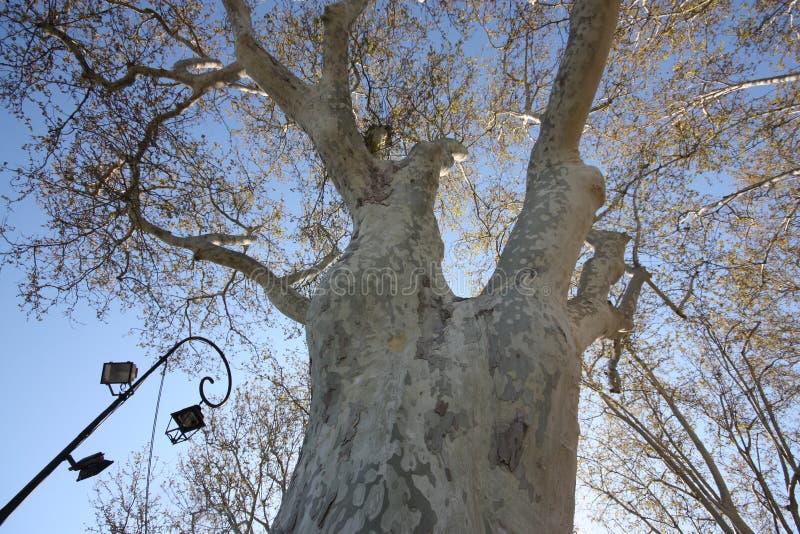 Белый ствол дерева стоковые фотографии rf