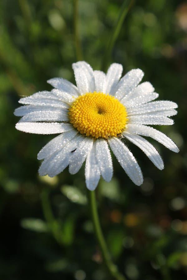 Белый стоцвет с waterdrops стоковая фотография rf