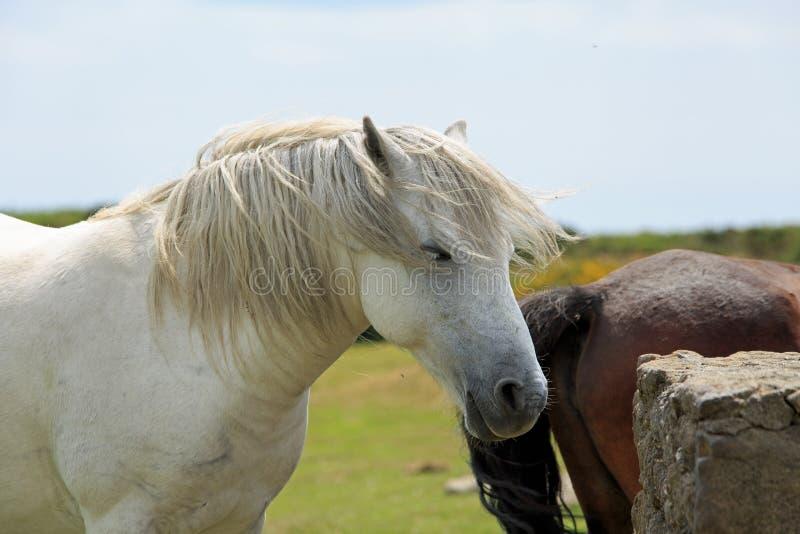 Белый стоять пони Dartmoor ослабил с естественной предпосылкой поля стоковые фото