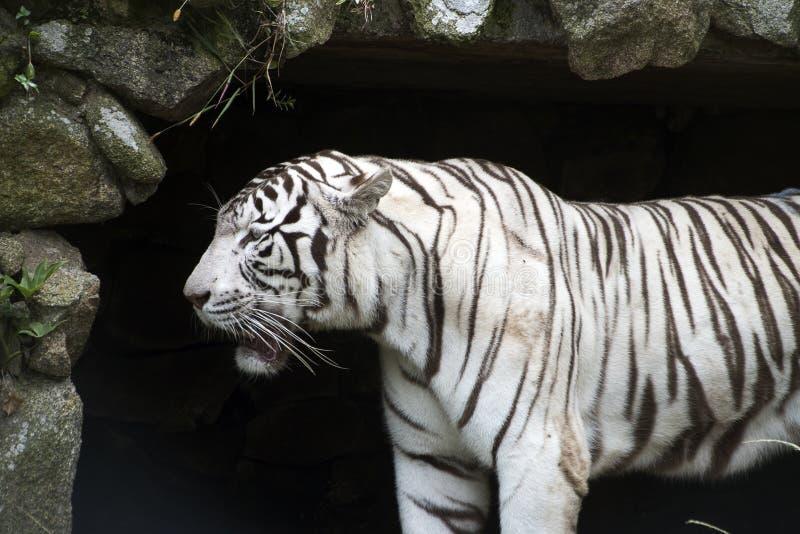 Белый тигр Бенгалии в зверинце стоковые фотографии rf