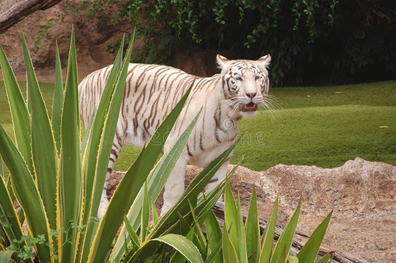 Белый тигр в парке Loro в Puerto de Ла Cruz на Тенерифе, Канарских островах стоковые фотографии rf