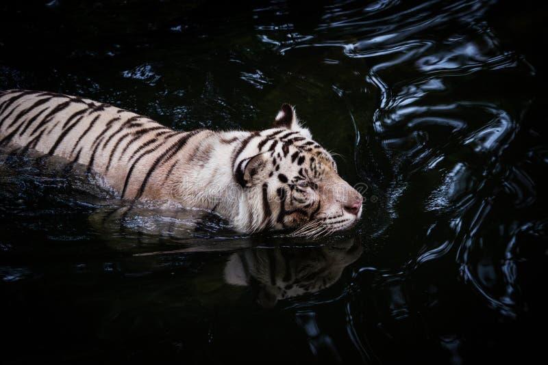 Белый тигр идя в воду стоковые фото