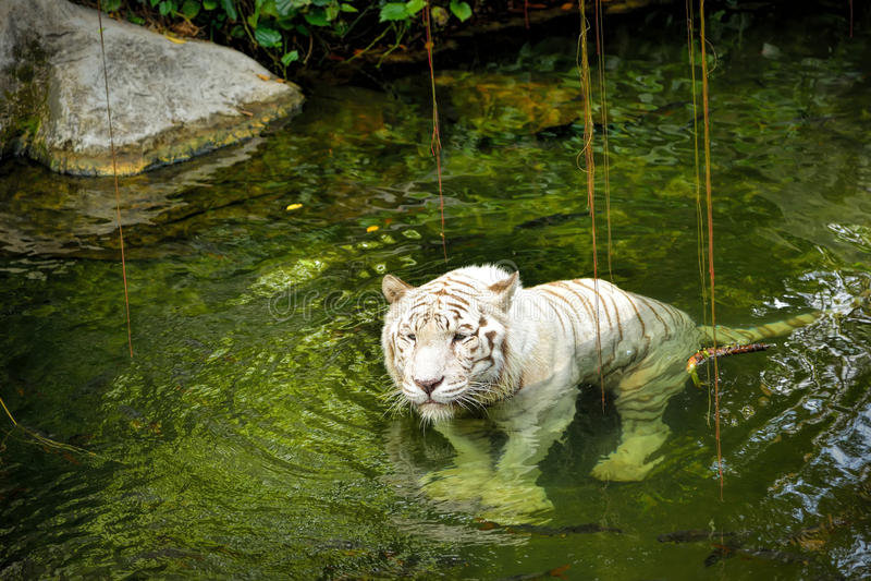 Белый тигр стоковое изображение rf