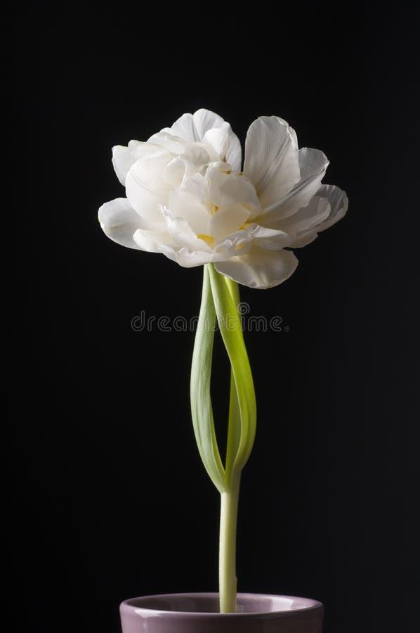 Белый тюльпан над серой предпосылкой стоковое изображение rf