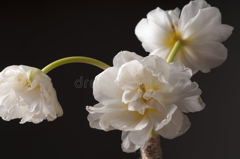 Белый тюльпан над серой предпосылкой стоковые изображения rf