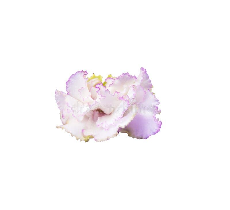 Белый фиолет мат--жемчуга при изолированная выпушка сирени стоковые фотографии rf