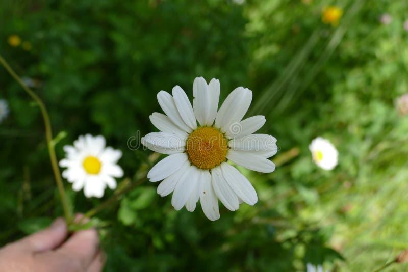Белый цветок в кровати цветков стоковые фотографии rf