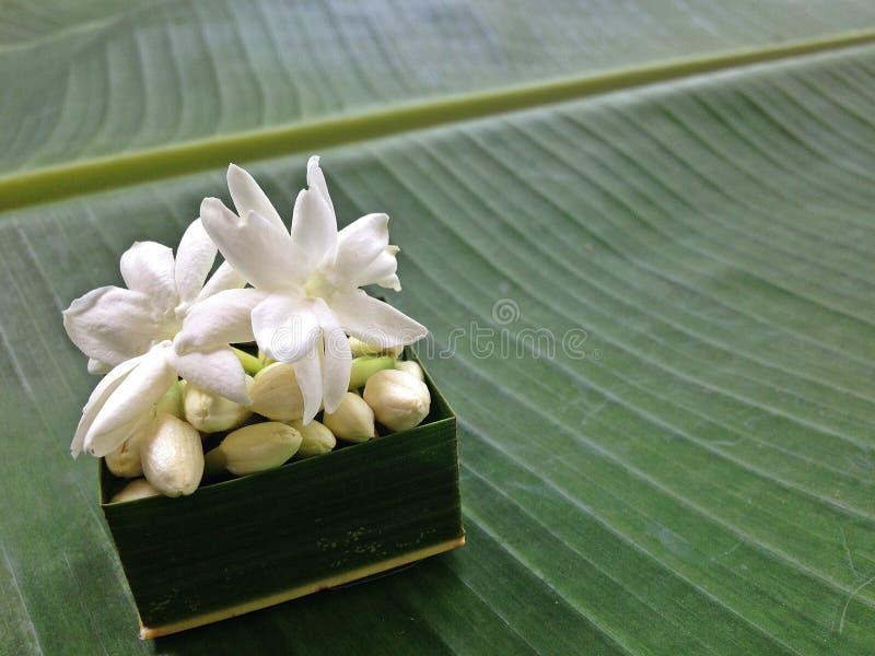 Белый цветок жасмина и зеленая предпосылка стоковые фотографии rf