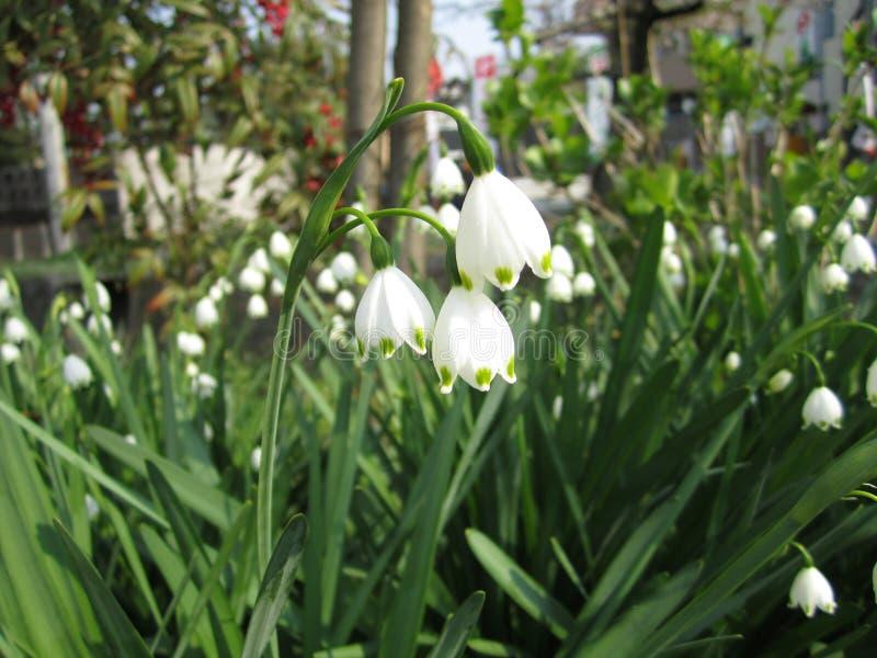 Белый цветок колокола стоковые фотографии rf