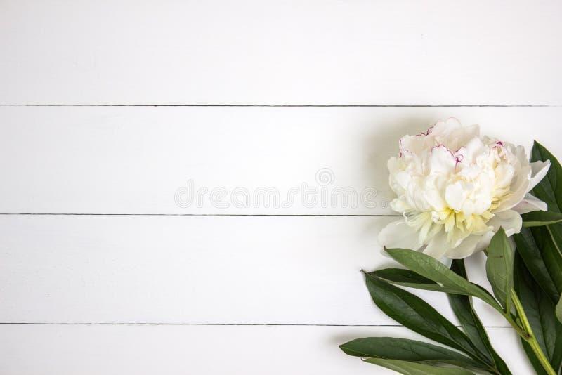 Белый цветок пиона на белой деревенской деревянной предпосылке с пустым пространством для текста Модель-макет, взгляд сверху стоковые фотографии rf