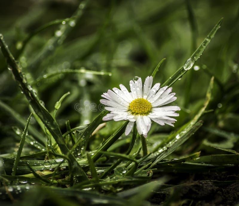 Белый цветок после ненастного часа стоковая фотография rf