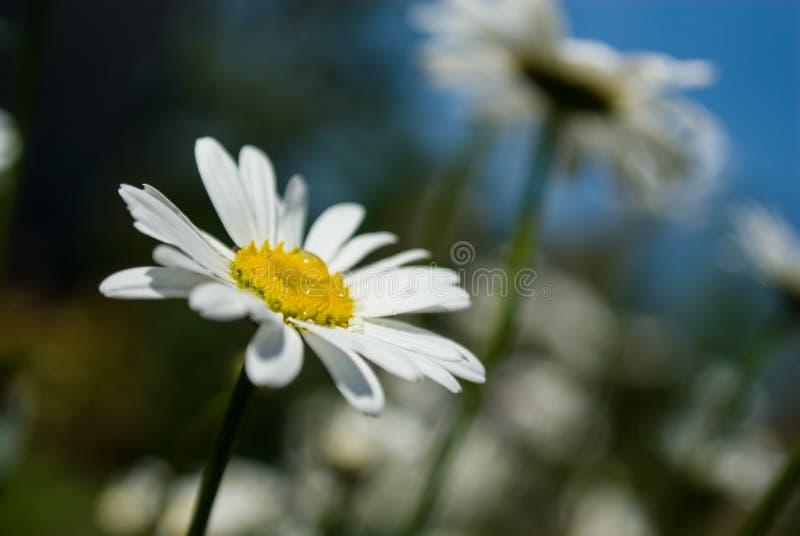 Белый цветок с капельками воды стоковое фото rf