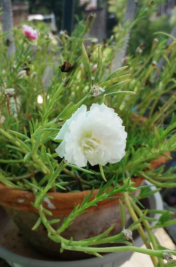 Белый цветок 9 часов стоковые фотографии rf