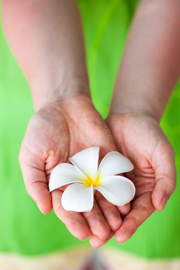 Download Белый цветок Frangipani стоковое изображение. изображение насчитывающей лето - 40576403