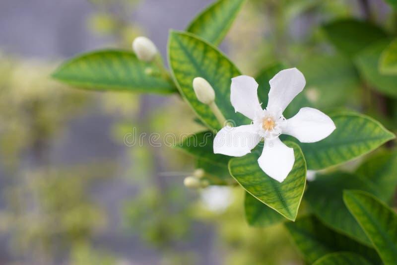 Белый цветок Inda стоковое изображение