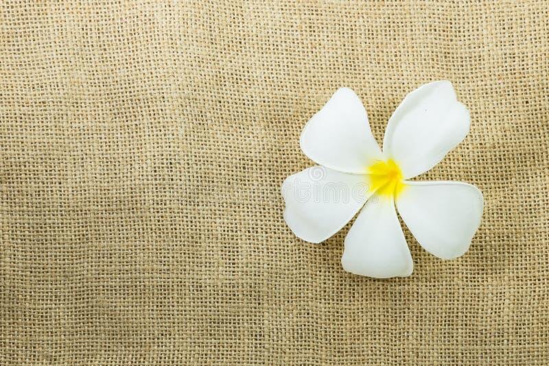 Белый цветок plumeria на текстуре мешка реднины стоковая фотография rf