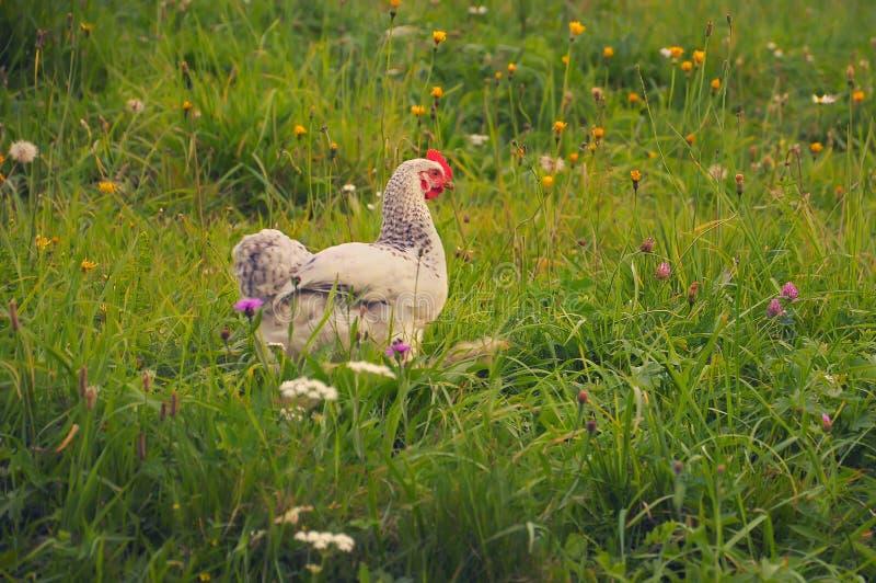 Белый цыпленок в траве стоковые изображения