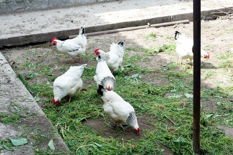 Белый цыпленок идя на курятник весной Сельское хозяйство орнитология Двор птицы стоковые фото