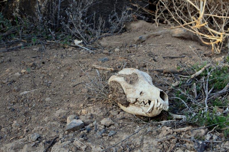 Белый череп койота в пустыне стоковое фото