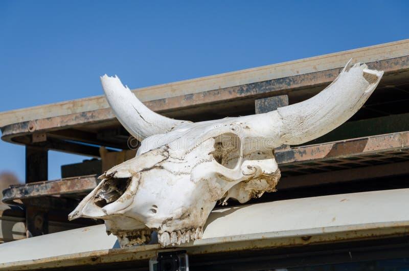 Белый череп коровы с впечатляющими рожками отбелил солнцем пустыни стоковые изображения
