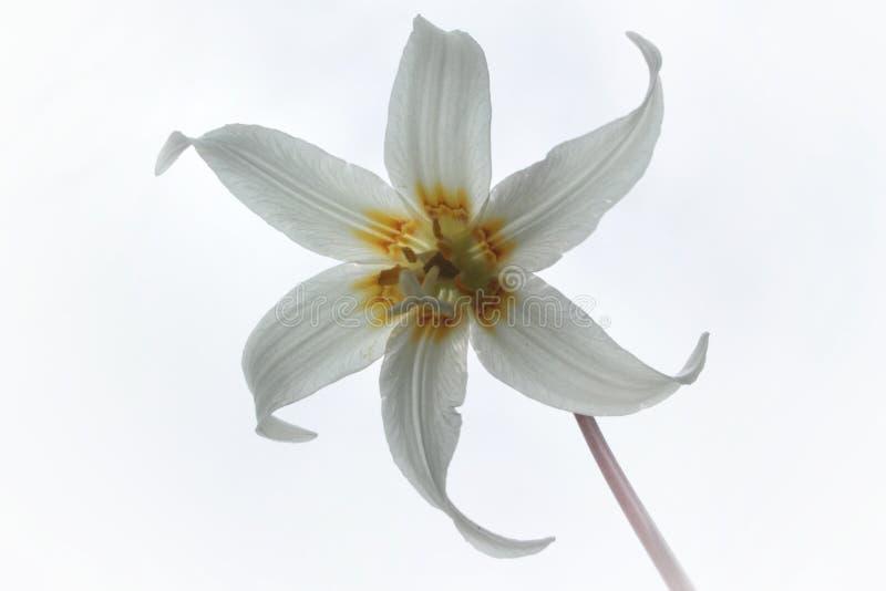 Белый элегантный цветок - лилия пыжика стоковая фотография rf