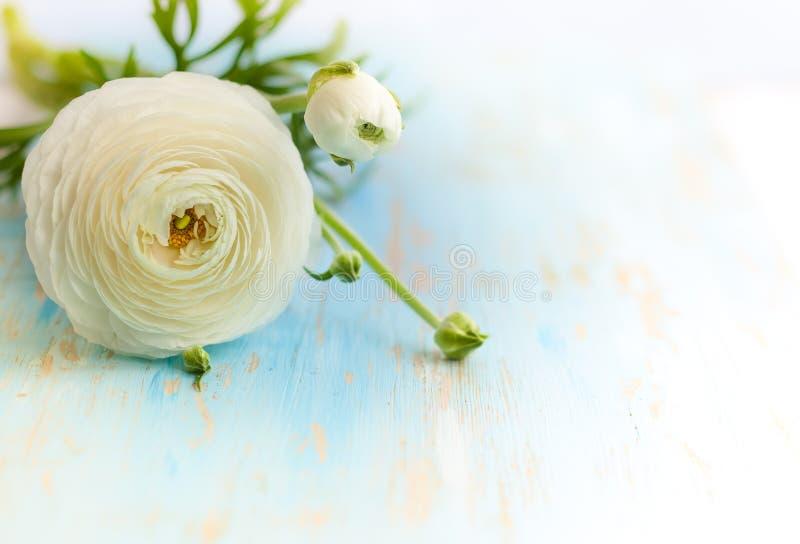 Белый лютик стоковое фото rf