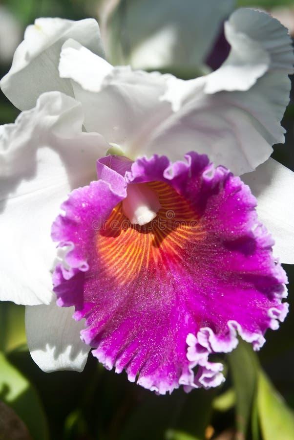 Белый blossoming орхидей стоковое фото rf