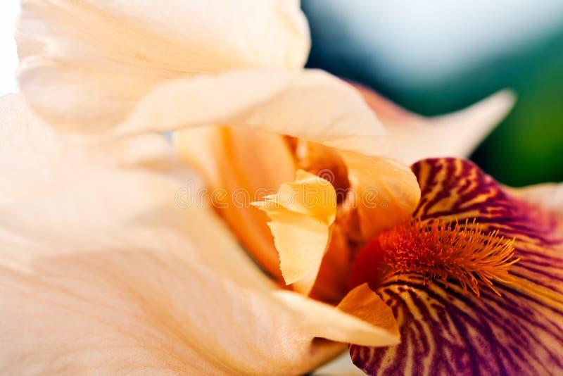 Белый blossoming радужки стоковая фотография rf