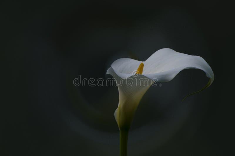 Белый calla стоковые фото