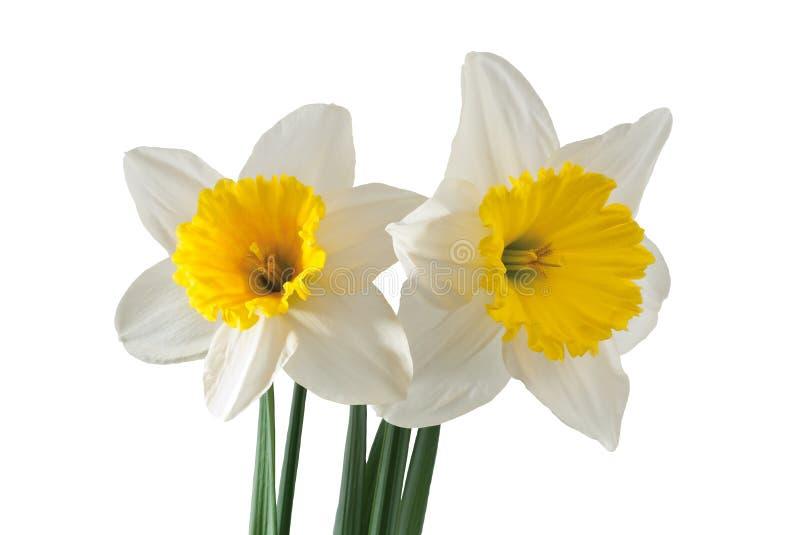 Белый daffodil стоковые фото