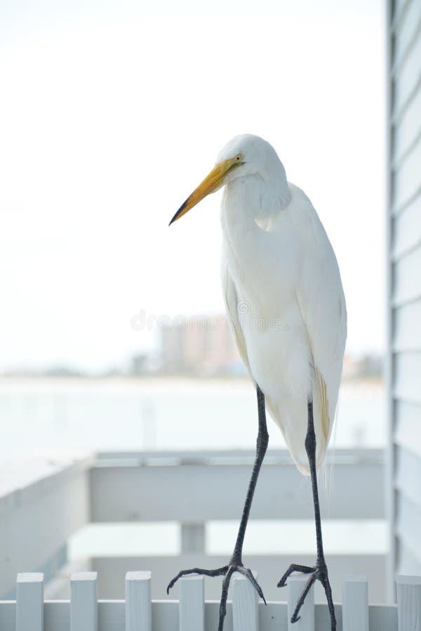 белый egret стоковые изображения rf